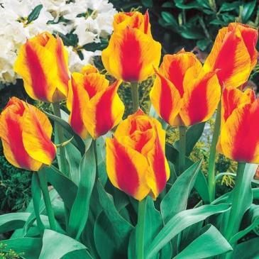 Тюльпан гибрид Грейга UNITED STATES, 11/12, 3 лук. фото 1