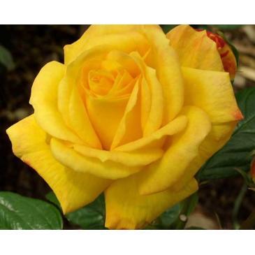 Троянда поліантова ARTHUR BELL / Артур Белл, серія Меррі Грін фото 1