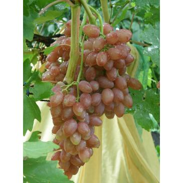 Виноград рожевийКишмиш Лучистий серії Меррі Грін (ДП) фото 1