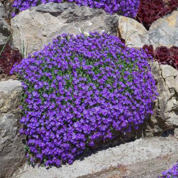 Аубриетта гибридная фиолетовая, 0,05 г фото 1