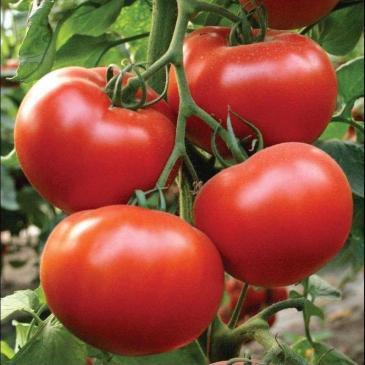 Насіння Томат високорослий (індетермінантний) Аксіома  F1, 10 нас. фото 1
