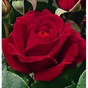 Троянда чайно - гібридна DAME DE COEUR / Дам де Кьор, серія Меррі Грін фото 1