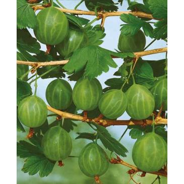 Аґрус зелений Малахіт серія Мінімот (ДП) фото 1