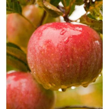 Яблоня ПРИМА фото 1