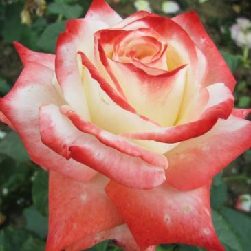 Роза чайно - гибридная IMPERATRICE FARAH / Императрица Фарах, серия Мерри Грин фото 1