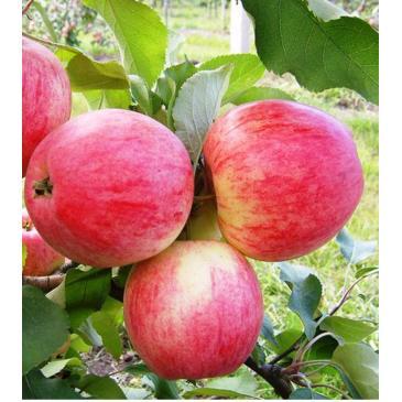 Яблуня СЛАВА ПЕРЕМОЖЦЯМ фото 1