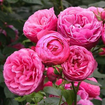 Троянда Кордес флорібунда POMPONELLA / Помпонелла, серія Рустік фото 1