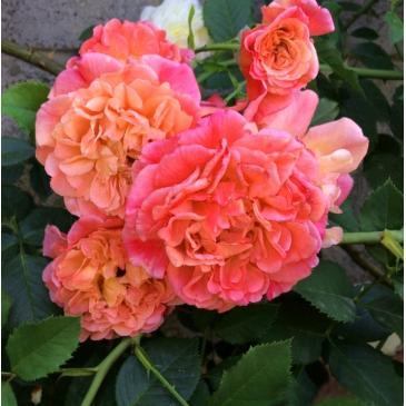 Троянда Кордес плетиста ALOHA / Алоха, серія Рустік фото 1