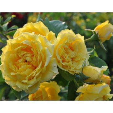 Троянда Кордес плетиста GOLDEN GATE / Голден Гейт, серія Рустік фото 1