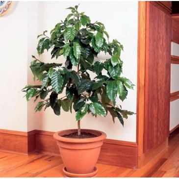 Кавове дерево Арабіка, 1 г фото 1
