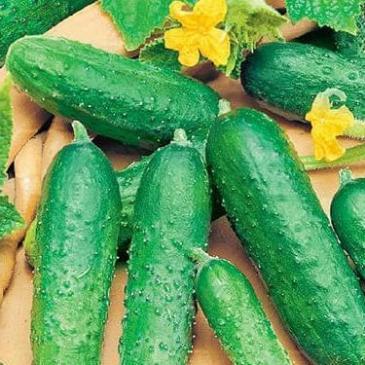 Огірок комахозапильний Астерікс F1 20 нас. СЦ фото 1