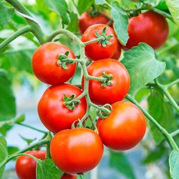 Насіння Томат високорослий (індетермінантний) Толстой F1, 0,05 г фото 1