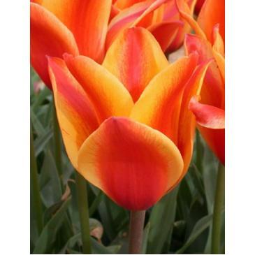 Тюльпан гібрид Грейга CAPE COD, 11/12, 3 циб. фото 1