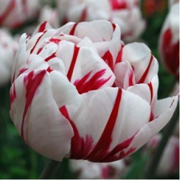 Тюльпан махровий пізній CARNAVAL DE NICE, 11/12, 3 циб. фото 1