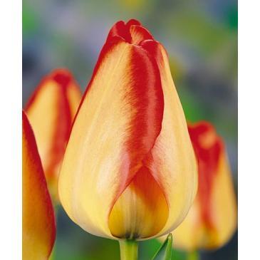Тюльпан Тріумф AMERICAN DREAM, 11/12, 3 циб. фото 1