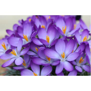 Крокус ботанічний  WHITEWELL PUPLE, 5/6, 5 циб. фото 1