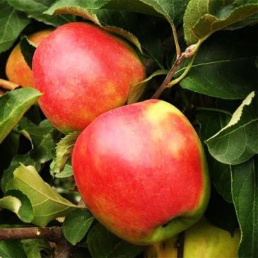 Яблуня ЛІГОЛ фото 1