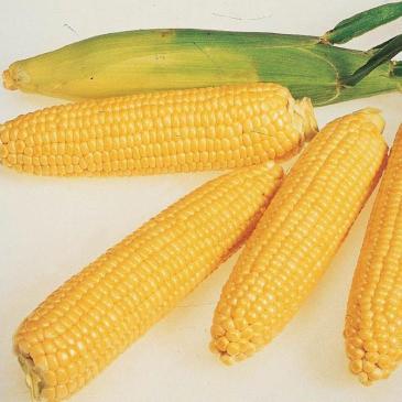 Кукурудза цукрова Леженд F1, 20 нас. фото 1