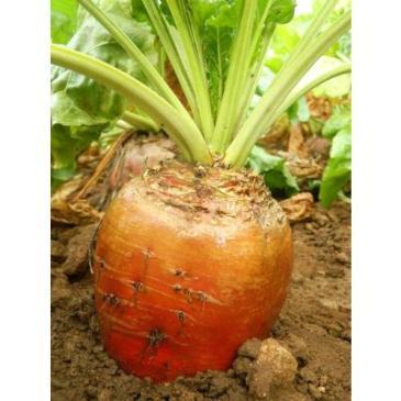 Буряк кормовий одноростковий Бригадир, 500 г фото 1