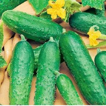 Огірок комахозапильний Астерікс F1 50 нас. СЦ фото 1