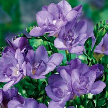 Фрезия махровая BLUE, 5 лук. 5+ фото 1