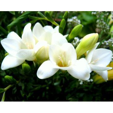 Фрезия махровая WHITE, 5 циб. 5+ фото 1