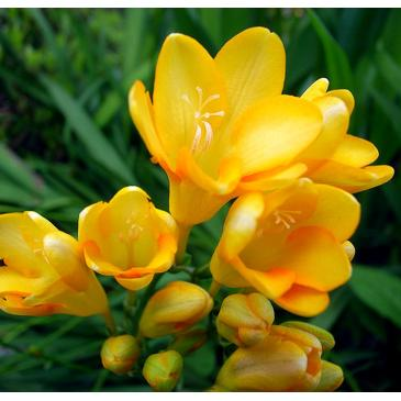 Фрезия махровая YELLOW, 5 циб. 5+ фото 1