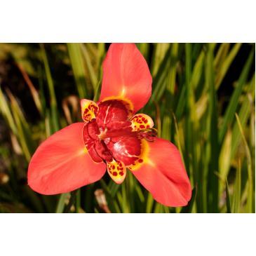 Тигридия RED, 5 лук.7/8 фото 1