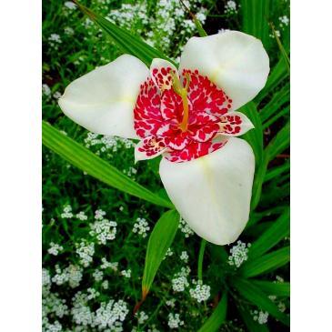 Тигридия WHITE, 5 лук. 7/8 фото 1