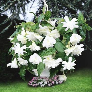Бегонія PENDULA CASCADE WHITE 1 бульб. 5/6