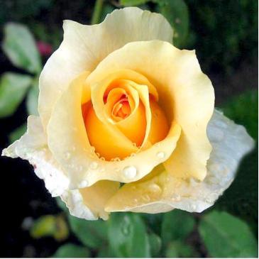Троянда чайно - гібридна CASANOVA / Казанова, серія Меррі Грін фото 1