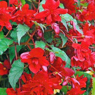 Бегонія Шансон F1 ампельна темно-червона 10гранСЦ фото 1