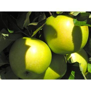 Яблуня МУТСУ фото 1