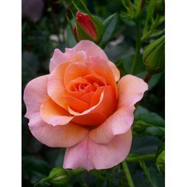 Троянда Кордес флорібунда APRIKOLA / Апрікола, серія Рустік фото 1