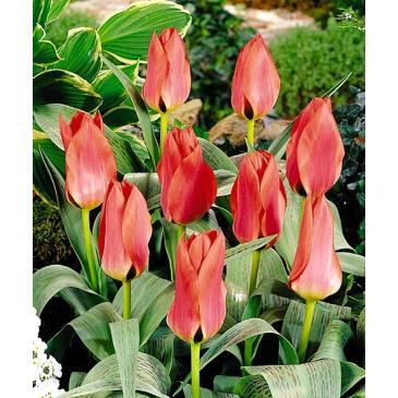 Тюльпан гібрид Грейга CORAL SATIN , 11/12, 3 циб. фото 1