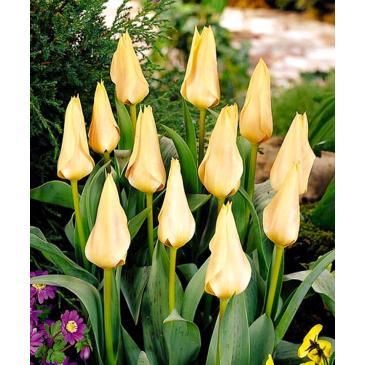 Тюльпан гібрид Грейга FUR ELISE, 11/12, 3 циб. фото 1