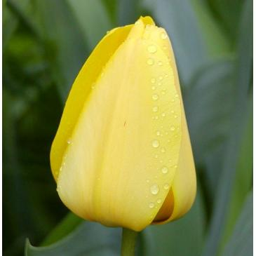 Тюльпан Гібрид Дарвіна GOLDEN APELDOORN, 11/12, 3 циб. фото 1