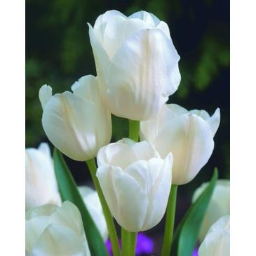 Тюльпан багатоквітковий WEISE BERLINER, 11/12, 3 циб. фото 1