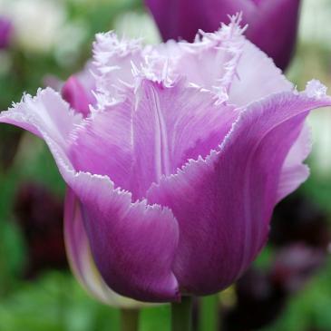 Тюльпан бахромчатый BLUE HERON, 11/12, 3 лук фото 1