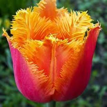 Тюльпан бахромчатый LAMBADA, 11/12, 3 лук. фото 1