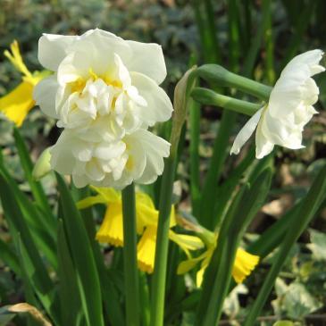 Нарцис махровий BRIDAL CROWN, 12/14, 3 циб. фото 1