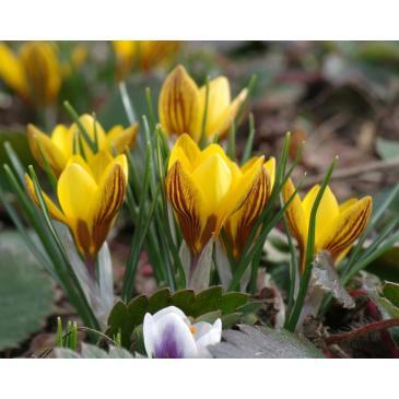 Крокус ботанічний  FUSCOTINCTUS, 5/6, 5 циб. фото 1