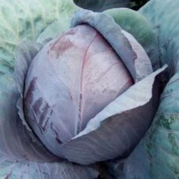 Капуста краснокочанная Рексома F1, 15 сем. фото 1