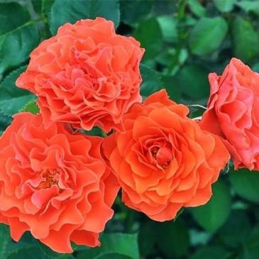 Троянда поліантова BRAND PIXSY / Бранд Пікс, серія Меррі Грін фото 1