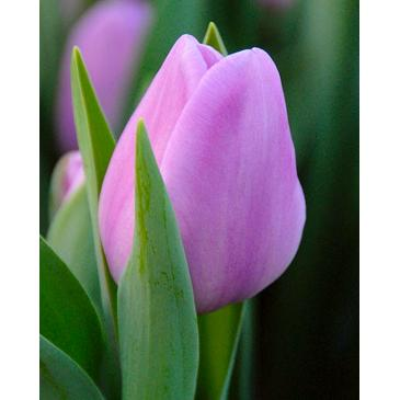 Тюльпан Триумф ALIBI , 11/12, 3 лук. фото 1
