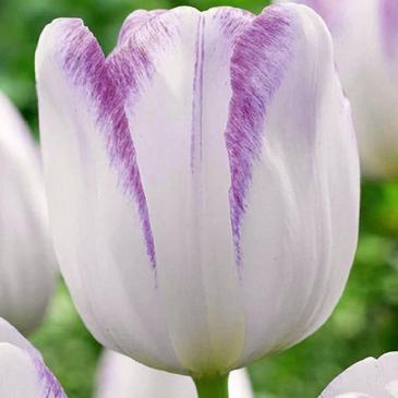 Тюльпан Триумф GWEN, 11/12, 3 лук. фото 1
