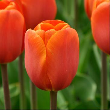 Тюльпан Триумф ANNIE SCHILDER, 11/12, 3 лук. фото 1