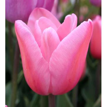 Тюльпан Тріумф MISTRESS , 11/12, 3 циб. фото 1
