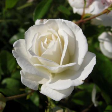 Чайно-гібридна троянда Solo White  (ДП) фото 1