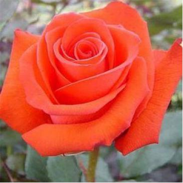 Чайно-гібридна троянда Solo Orange (ДП) фото 1